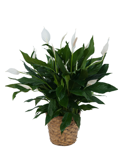 Peace Lily Plant in Wicker Basket
