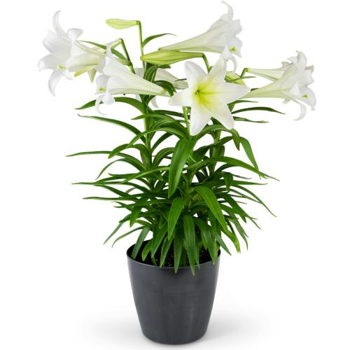 Grande Easter Lily